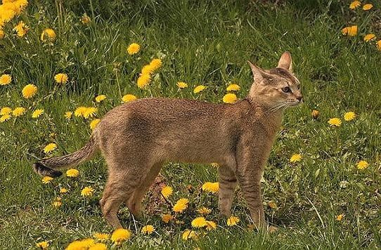 Кошка чаузи на поляне