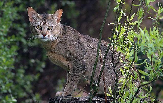 Кошка чаузи на прогулке