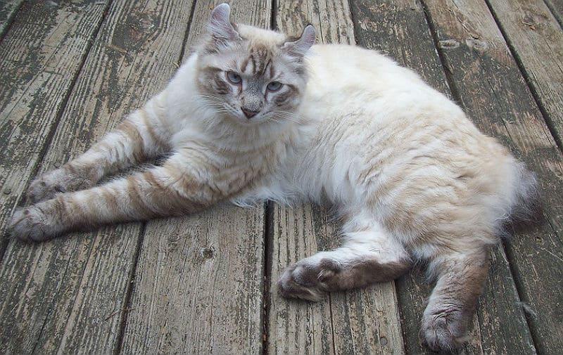 Кошка хайлендер - главное фото
