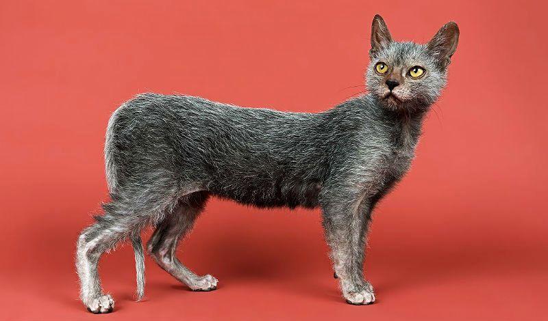 Кошка ликой - главное фото