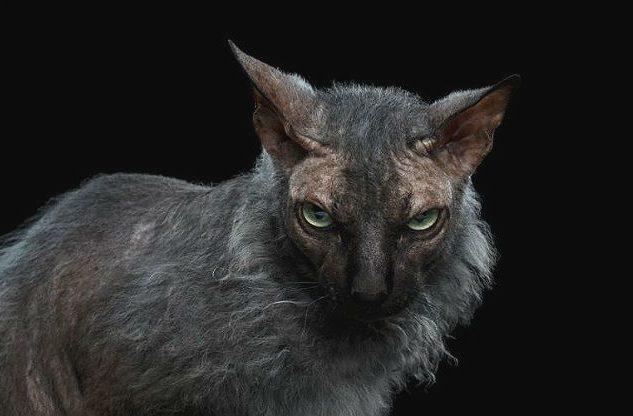 Серьезная кошка ликой