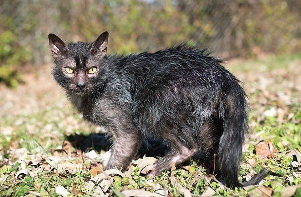 Кошка ликой на прогулке