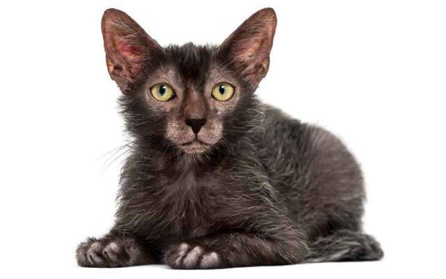 Кошка ликой - внешний вид