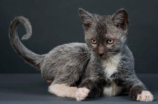 Порода ликой - котенок