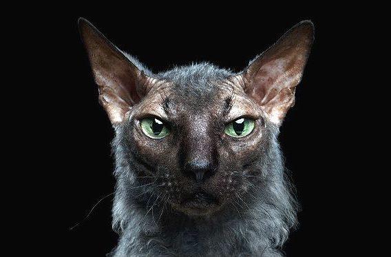 Кошка ликой - голова