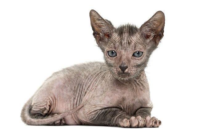 Ликой - котенок