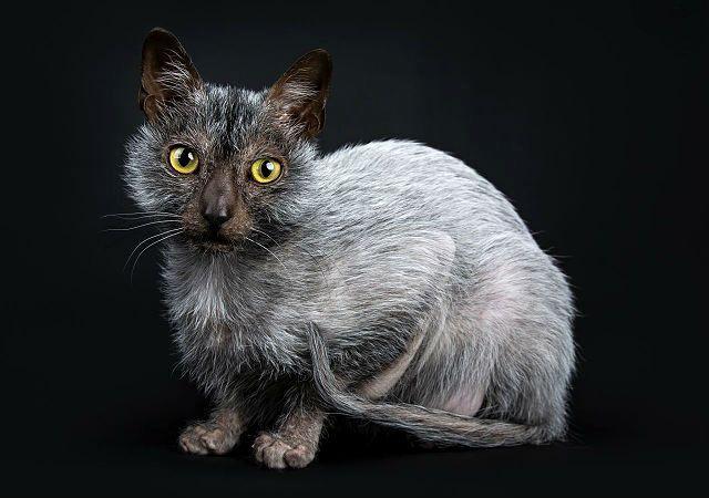 Кошка ликой сидит