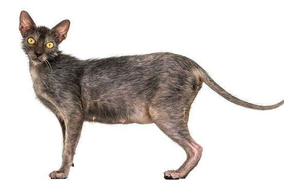 Кошка ликой - вид сбоку
