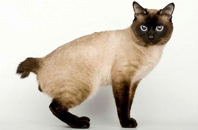 Кошка меконгский бобтейл - вид сбоку