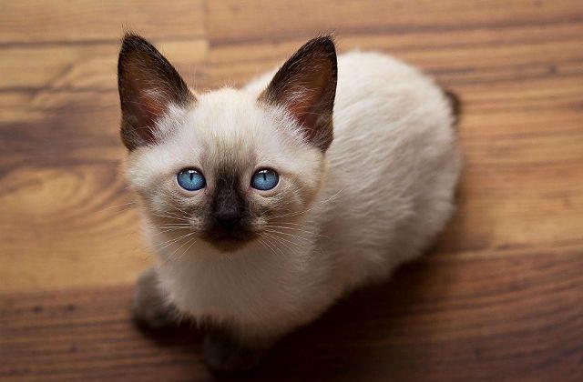 Котенок породы меконгский бобтейл