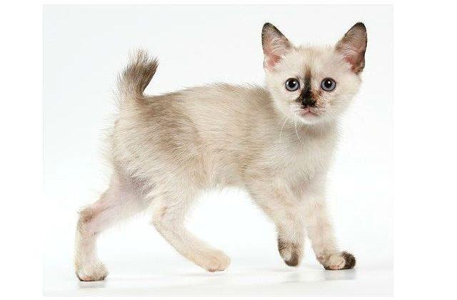 Меконгский бобтейл - котенок
