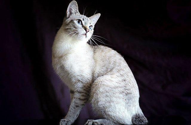 Кошка меконгский бобтейл сидит