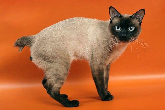 Кошка меконгский бобтейл - внешний вид
