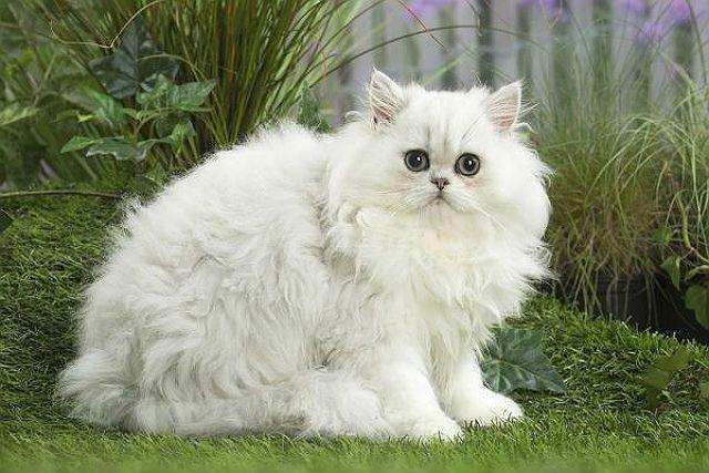 Кошка персидская шиншилла - главное фото