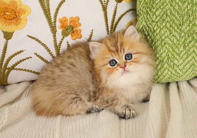 Котенок персидская шиншилла