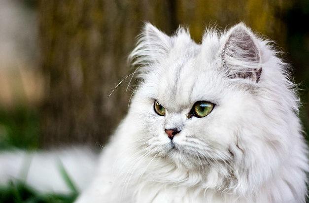 Кошка персидская шиншилла - морда