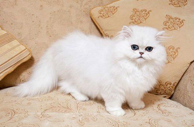 Кошка персидская шиншилла - вид сбоку