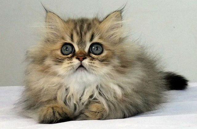 Котенок породы персидская шиншилла