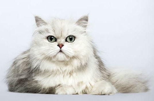 Кошка персидская шиншилла - вид спереди