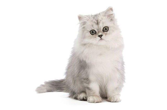 Кошка персидская шиншилла сидит