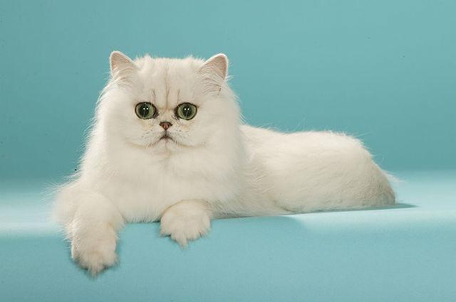 Кошка персидская шиншилла - внешний вид