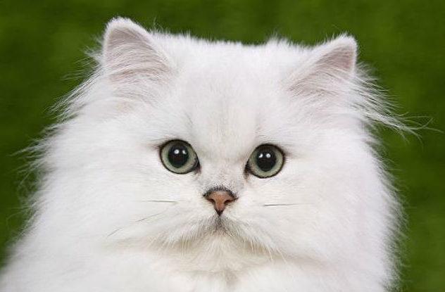 Кошка персидская шиншилла - голова
