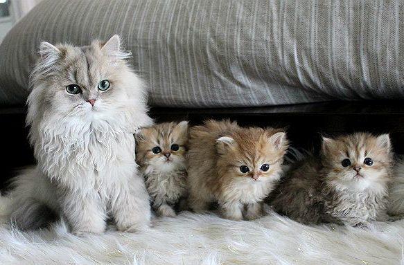 Кошка персидская шиншилла с котятами