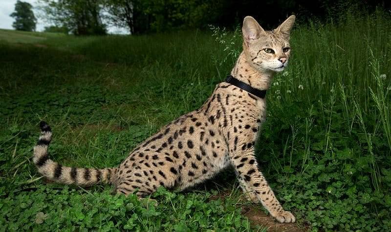 Кошка саванна - главное фото