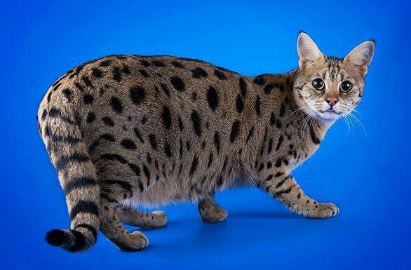 Кошка саванна на синем фоне