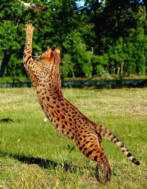 Кошка саванна - физическая активность