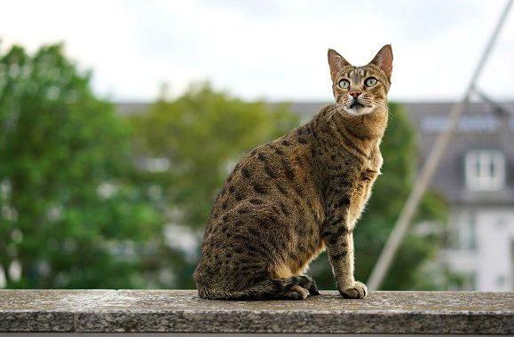 Кошка саванна сидит