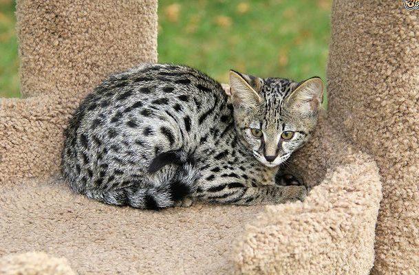 Серый пятнистый котенок саванна