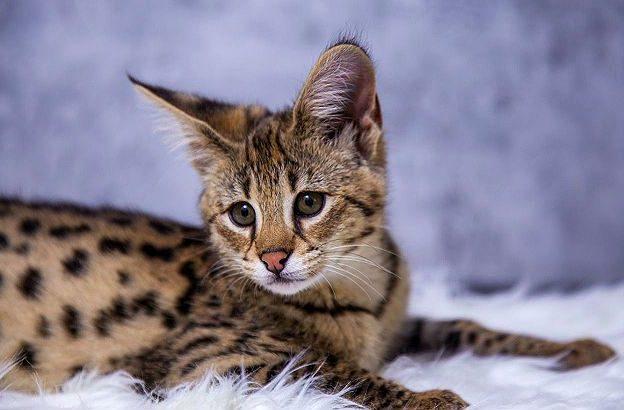 Саванна - котенок