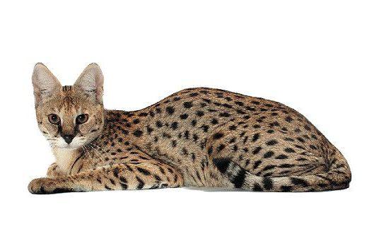 Кошка саванна лежит