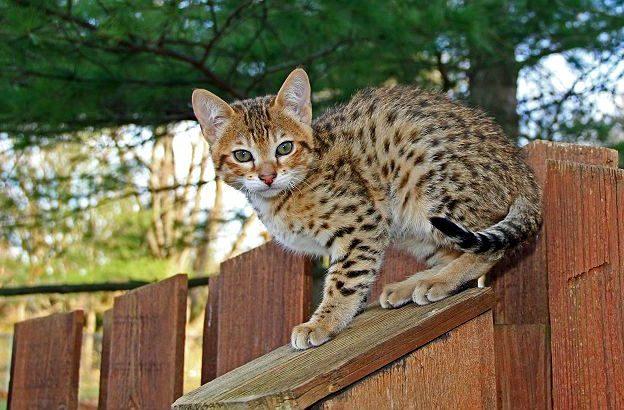 Котенок породы саванна
