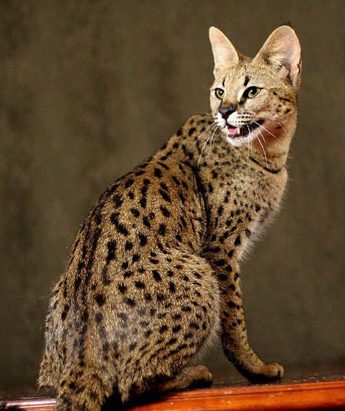 Кошка саванна - внешний вид