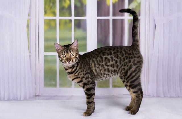 Кошка саванна у окна