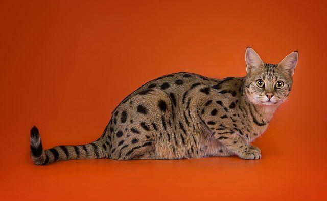 Кошка саванна - вид сбоку