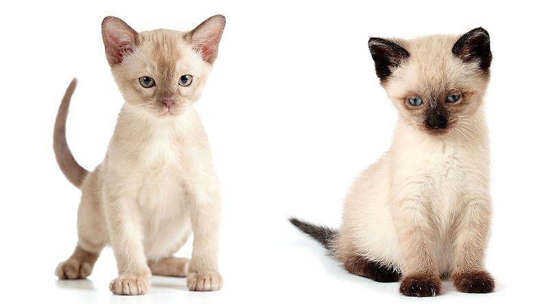 Кошки, которые не линяют