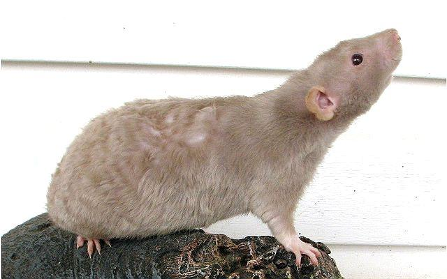 Крыса без хвоста