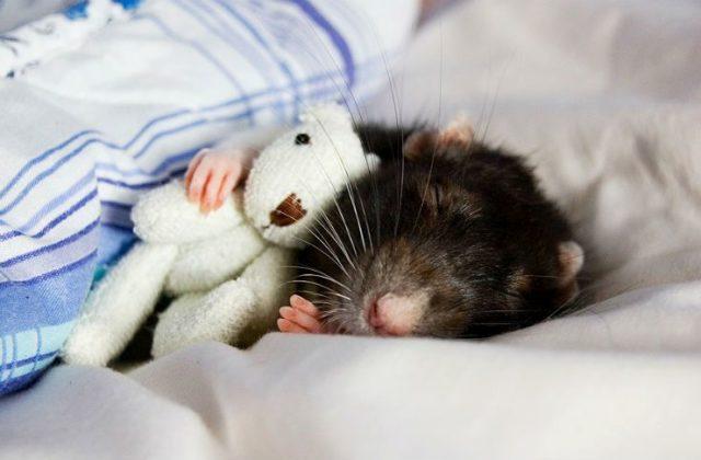 Крыса умирает - главное фото