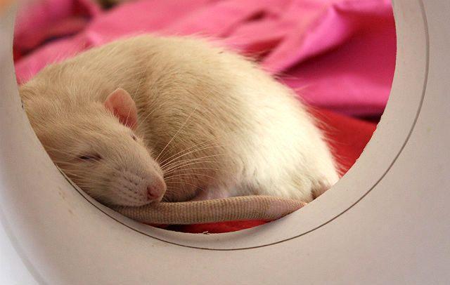 Белая крыса умирает
