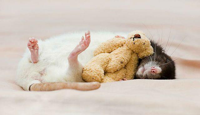 Крыса умирает - что делать после смерти питомца