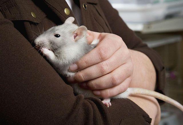 Уход за стареющей крысой
