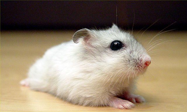 Маленький джунгарский хомячок