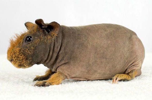 Морская свинка - скинни