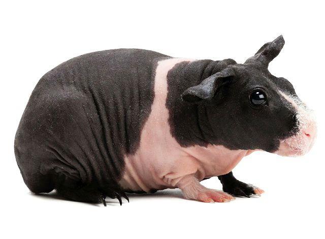 Черно-белая морская свинка скинни