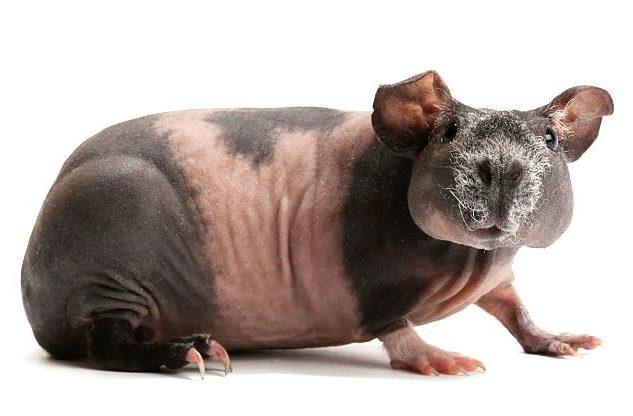 Морская свинка скинни - пятнистая