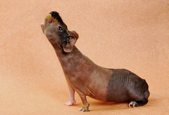 Морская свинка скинни - характер и поведение