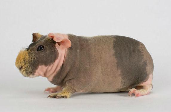 Скинни - морская свинка